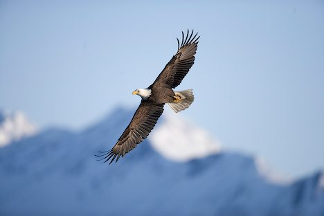 Bald Eagles Flying in Mountain